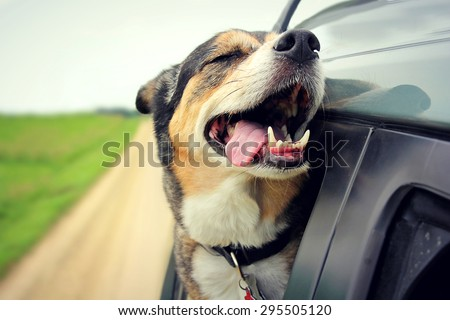 A happy German Shepherd mix breed dog is smiling with his tongue hanging out and his eyes closed as he sticks his head out the family car window while driving down the road. - stock photo