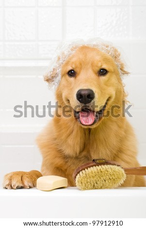 A happy Golden Retriever dog ready to take a bath in the tub.  He is wearing a shower cap and has a scrub brush and bar of soap ready to use. - stock photo