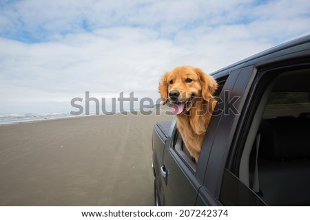 a happy golden retriever dog with his head out the window of a vehicle while driving on the beach