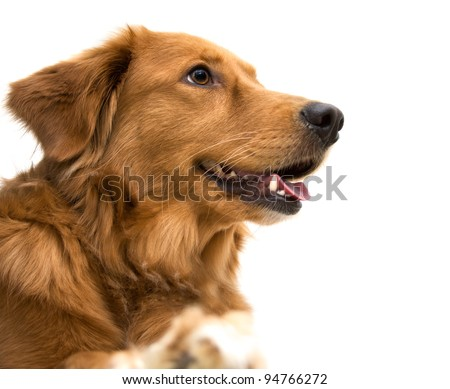 A happy Golden Retriever mix - stock photo