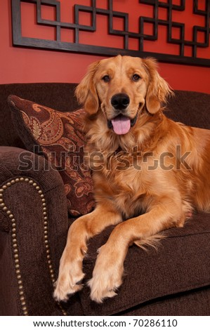 A happy Golden Retriever sitting on the edge of a sofa looking into the camera. - stock photo