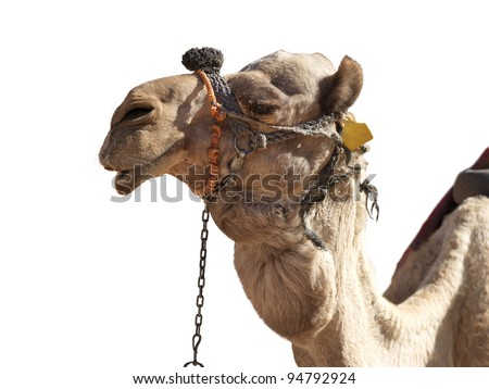 A happy, grinning camel isolated in profile on white - stock photo