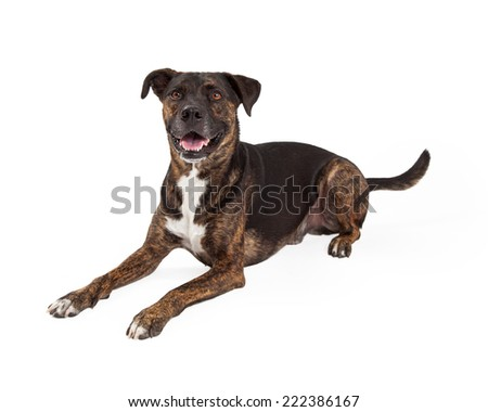 A happy large breed dog with a brindle brown and black coat laying down to the side and looking forward with a happy expression