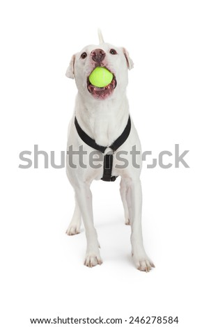 A happy large white Dojo Argentino breed dog wearing a harness with a yellow tennis ball in his mouth - stock photo