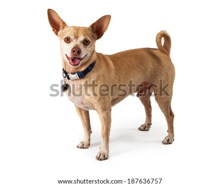 A happy little Chihuahua dog standing and looking at the camera with a smile on his face