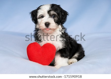 A happy lover valentine havanese puppy dog with a red heart is sitting on a blue blanket background - stock photo