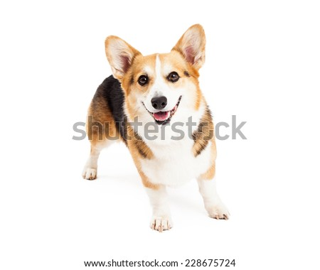 A happy Pembroke Welsh Corgi Dog standing while looking forward.   - stock photo