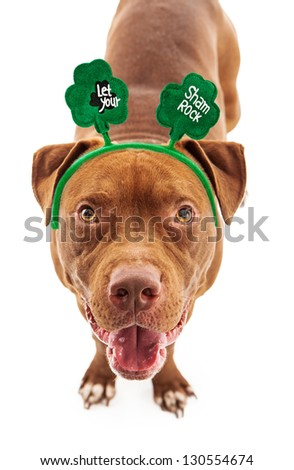 A happy Pit Bull dog wearing a St. Patrick's Day headband with clovers on them - stock photo