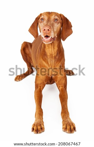 A happy Vizsla breed dog laying and looking up with an open mouth and happy expression