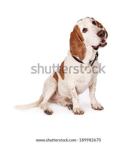 A happy young Basset Hound dog sitting to the side and looking up  - stock photo