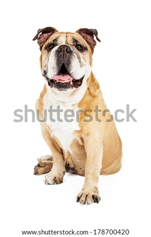 A happy young Bulldog sitting against a white backdrop while looking forward and smiling - stock photo