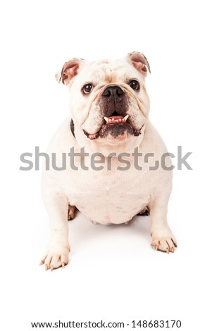 A happy young Bulldog sitting against a white backdrop with his teeth sticking out