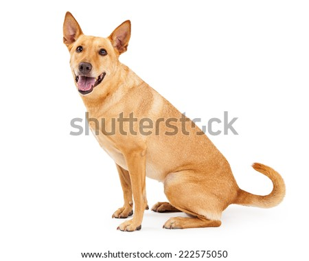 A happy young Carolina Dog also known as an American Dingo sitting to the side with a happy expression and open mouth - stock photo