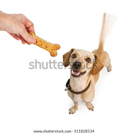 A happy young Dachshund and Chihuahua cross-breed puppy dog with motion blur from a wagging tail looking up at a human hand holding a biscuit treat - stock photo