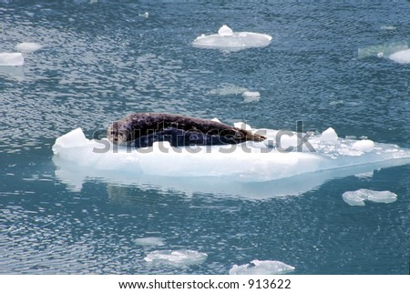 A harbor seal floats on an iceberg in the Tracy Arm Fjord in Alaska. - stock photo