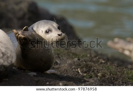 A harbor seal looks over its shoulder as it suns itself in the warm, mid-afternoon light in Depoe Bay, Oregon. - stock photo