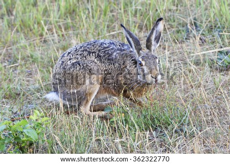 a hare on a meadow - stock photo
