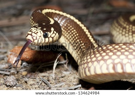 A harmless California kingsnake in Southern California. - stock photo