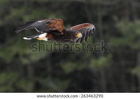 A Harris's Hawk (Parabuteo unicinctus) gliding through the air.  - stock photo