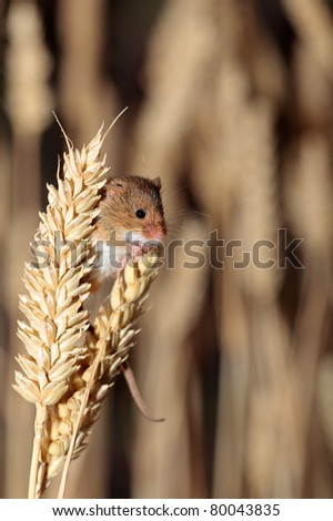A harvest mouse clambering through a wheat field before harvest time - stock photo