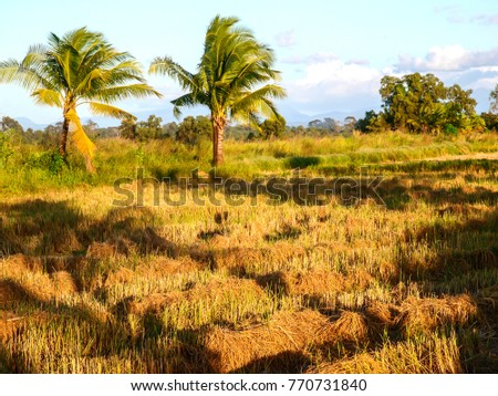 A harvested rice field with palm trees in late afternoon, Thailand