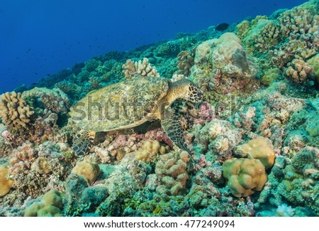 A hawksbill sea turtle, Eretmochelys imbricata, underwater on the ocean floor feeding on a coral reef, Pacific ocean, atoll of Tikehau, Tuamotu, French Polynesia