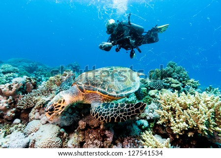 A Hawksbill turtle creates strings of debris in the water as it feeds watched by a scuba diver with a camera