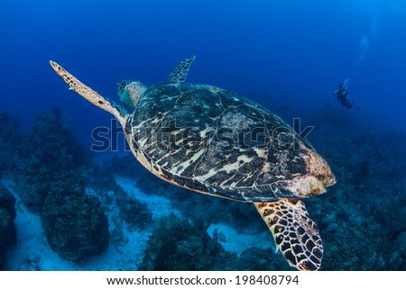 A Hawksbill turtle (Eretmochelys imbricata) swims above a healthy coral reef off the coast of Belize. This species of sea turtle is critically endangered but is found worldwide in tropical seas. - stock photo