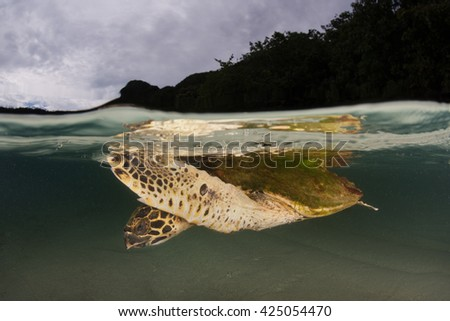 A Hawksbill turtle (Eretmochelys imbricata) swims at the surface of a lagoon in Raja Ampat, Indonesia. This is an endangered species, hunted for its meat and shell. - stock photo
