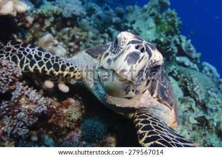 A hawksbill turtle, Eretmochelys imbricata, watches the photographer closely, Layang Layang, South China Sea atoll, Sabah Province, Borneo Island, Malaysia, Pacific Ocean - stock photo
