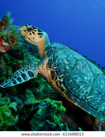 A Hawksbill Turtle Looking For Sponge to Eat in Cozumel, Mexico