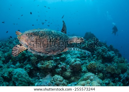 A Hawksbill turtle swims over a reef in the Republic of Palau. This endangered species is still hunted on many islands throughout the world for its shell and meat. - stock photo