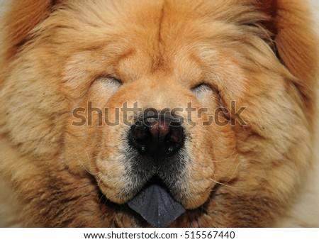 A head of a sweet Chow Chow dog closing eyes isolated on brown. Selective focus