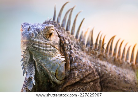 A head of iguana looking froward