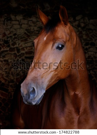 A head shot of a bay horse against a black background. - stock photo