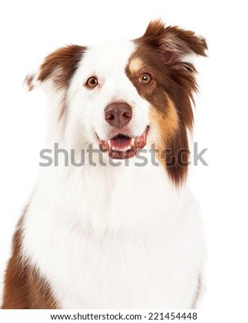 A head shot of a beautiful brown, gold and white border collie looking into the camera. - stock photo