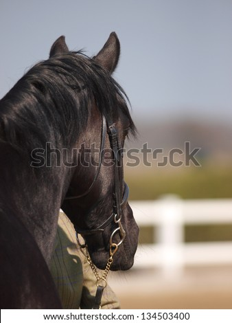 A head shot of a black horse in a snaffle bridle in-hand