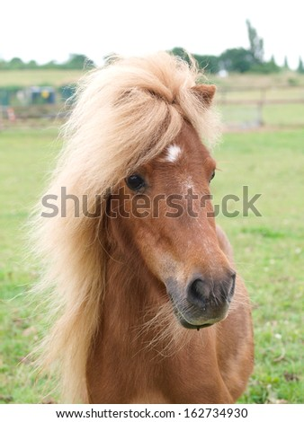 A head shot of a chestnut pony in a paddock. - stock photo
