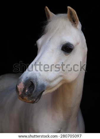 A head shot of a grey pony against a black background.