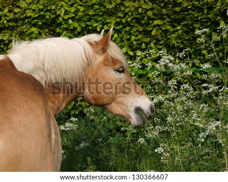 A head shot of a Haflinger horse eating wild plants outside.