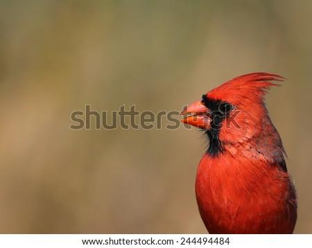 A head shot of a male northern cardinal (Cardinalis cardinalis).  Shot in Cambridge, Ontario, Canada.  - stock photo