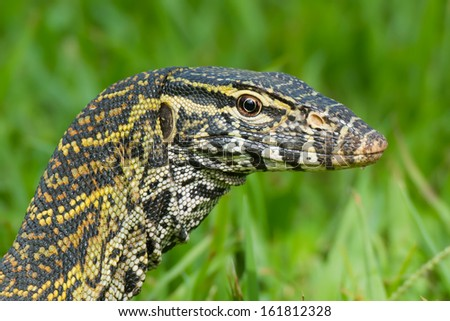 A head- shot of a Nile Monitor Lizard (Varanus niloticus) - stock photo