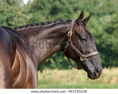 A head shot of a plaited dark bay hunter.