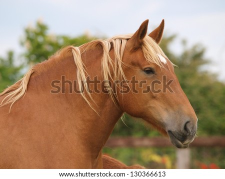 A head shot of a pretty chestnut Suffolk Punch horse