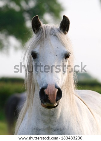 A head shot of a pretty grey pony in a paddock.