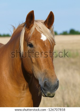 A head shot of a pretty Suffolk Punch Mare.
