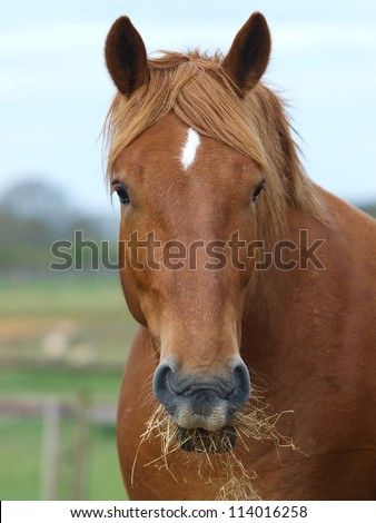 A head shot of a Suffolk Punch horse eating hay. - stock photo