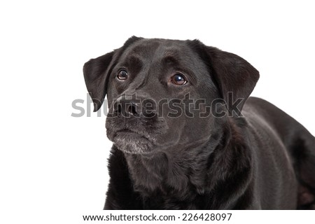 A head shot of a very curious Labrador Retriever Dog.
