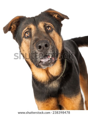A headshot of a cute young Shepherd cross dog with a happy expression