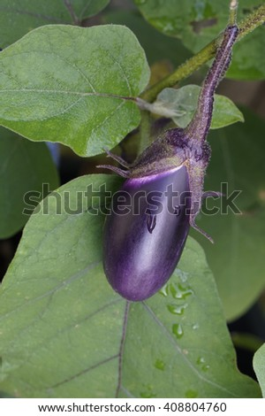 a healthy aubergine or eggplant on  a plant - stock photo